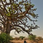 Baobab tree in Senegal