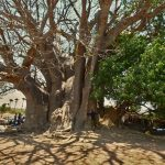 hugging biggest baobab tree in senegal